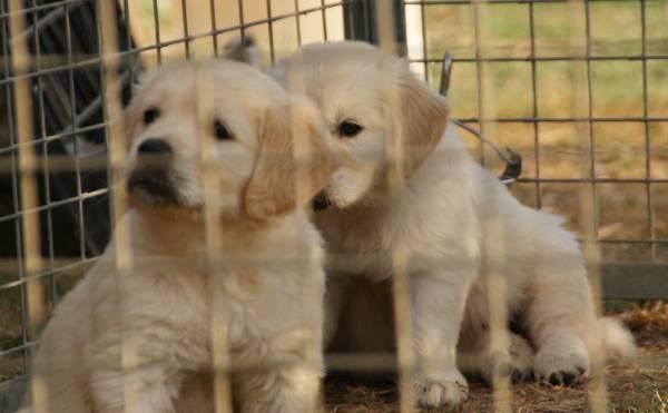le nostre cucciole di Golden Retriver in giardino a 40 giorni